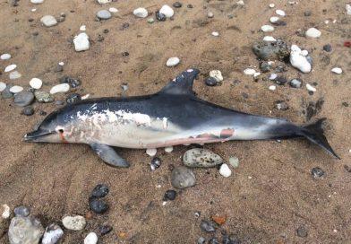 Ghana : la mort en cascade de dauphins inquiète